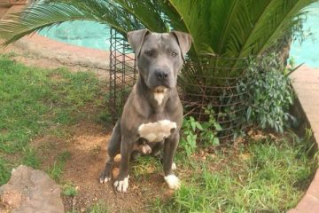 Kingsview Pitbull South Africa - Kingsview Kennels