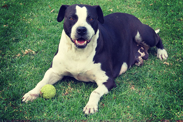 Kingsview Pitbull South Africa - Kingsview Kennels - Kingsview Kennels